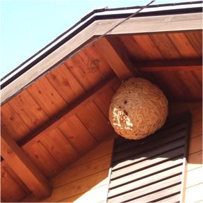 剪定のついでにハチの巣駆除までやってくれました。愛知県豊田市S様