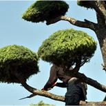 庭木の剪定 1本